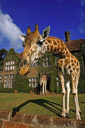 Giraffe-Manor-013